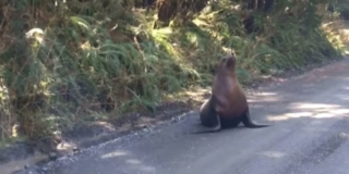 Sea lion on a gravel road