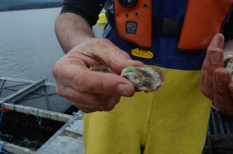 Young oyster held up to camera