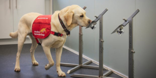 Trained golden retriever smells socks in a COVID-19 detection training session.