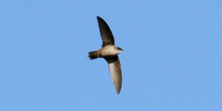 A view of a Vaux's Swift's belly as it flies from left to right of the picture. It is day time and there are no clouds.