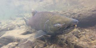 A Chinook Salmon swims upstream.