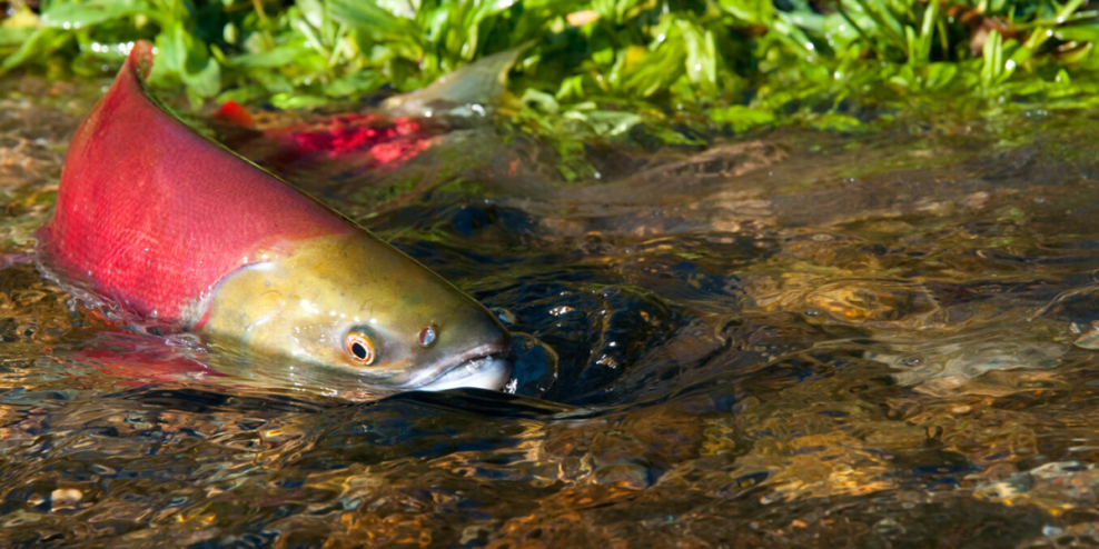 A salmon swims in shallow water with its head just above the surface.