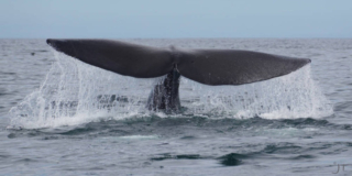 The tail of a Pacific right whale above the water.