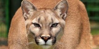 cougar mountain lion head