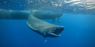 Bluntnosed sixgill shark