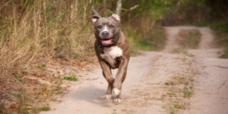 A pitbull runs playfully along a dirt trail with trees in the background.