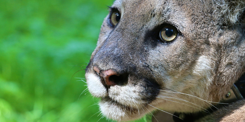 A closeup of a cougar's face on a green, grassy background.