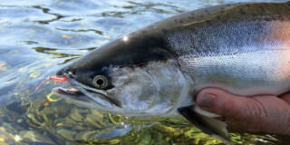 A closeup of a pink salmon being held just about sparkling water on a sunny day.