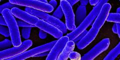 A purple, closeup photo of microscopic E. coli bacteria.